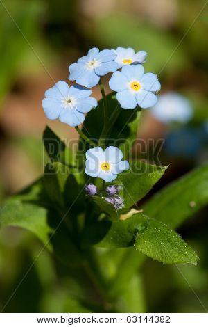 Spring Flowers Forget-me (myosotis)