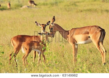Impala Mother - Wildlife Background from Africa - Adorable Animal Babies