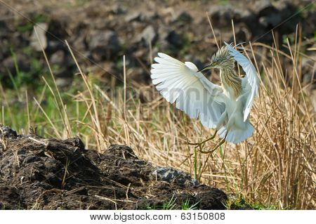 Squacco Heron (ardeola Raloides) Landing With Its Crest Erected