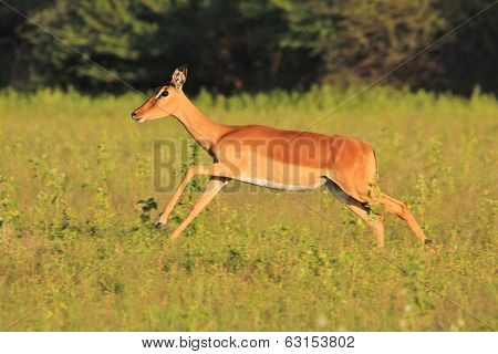 - Wildlife Background from Africa - Speed of Wild