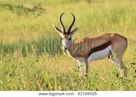 Springbok - Wildlife Background from Africa - Graceful Antelope and Elegant Animal