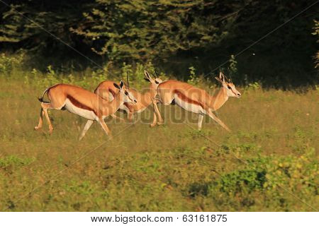 Springbok - Wildlife Background from Africa - Graceful Antelope and Elegant Animals