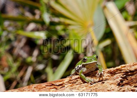 Barking Tree Frog