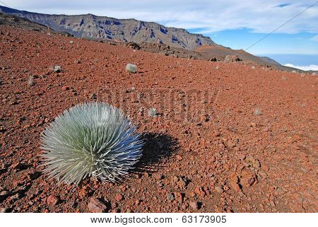 Silverword Plant in Haleakala National Park, Maui Hawaii,