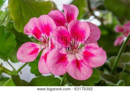 Pelargonium (geranium) bloom