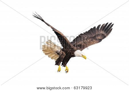 Bald eagle. poster