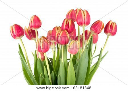 Bunch of red tulips on a white background