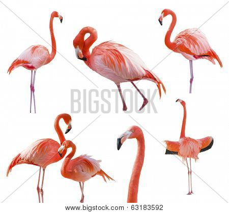 Collection of Beautiful Flamingos Isolated on a White Background - XXXL.
