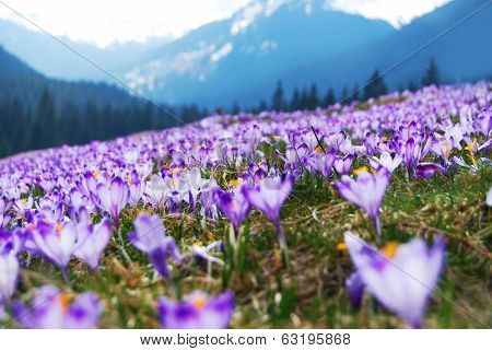 Crocuses Meadow