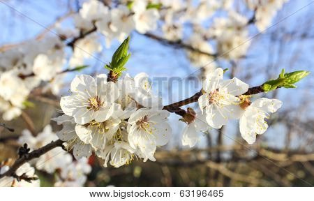 Cherry Blossoms In The Garden