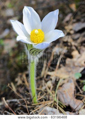 First Spring Snowdrop