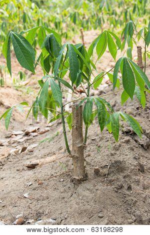 Cassava tree