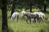 stock photo of horse-breeding  - Young Lipizzan horses out in the open - JPG