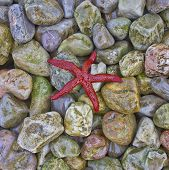 image of echinoderms  - red sea star on colorful pebbles beach closeup - JPG