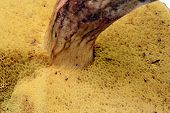 stock photo of bolete  - Hymenophore yellow tube edible mushroom bolete isolated - JPG