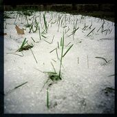 Instagram style image of springtime grass growing through snow