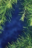 cedar pine needles green blue background frame