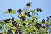 image of elderberry  - Fruits of wild elderberry on a background of blue sky - JPG
