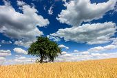 Lonely Tree In The Field Of Golden Wheat