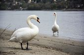 Swan Couple Talking