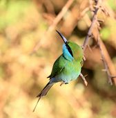 nice Green Bee-eater bird on brunch