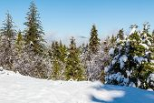 pic of sequoia-trees  - Giants Sequoia Grove in the Mariposa area Snowy trees view and beautiful view - JPG