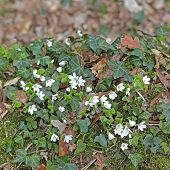 picture of sorrel  - European ivy (Hedera helix) and Wood sorrel (Oxalis acetosella) on a dead mossy tree in spring.
