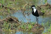 Spur-winged Plover (vanellus Spinosus) On A Pond Bank Lined With Grass