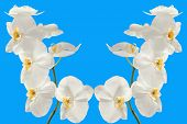 Branch Orchid On Blue Background