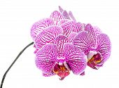 Blooming Branch Stripped Deep Purple  Orchid, Phalaenopsis Is Isolated On White Background