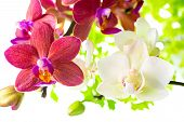 Blooming Branches White And Red Phalaenopsis Orchid With Green Leaves Is Isolated On White Backgroun
