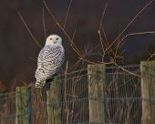 picture of snowy owl  - Snowy Owl in Shenandoah County Virginia in winter - JPG