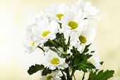 Beautiful chrysanthemum flowers on bright background
