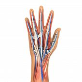 foto of gout  - Human Hand Anatomy Illustration  - JPG