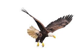 image of bald headed  - Bald eagle isolated on the white background - JPG