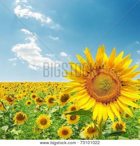 sunflower closeup on field under blue sky
