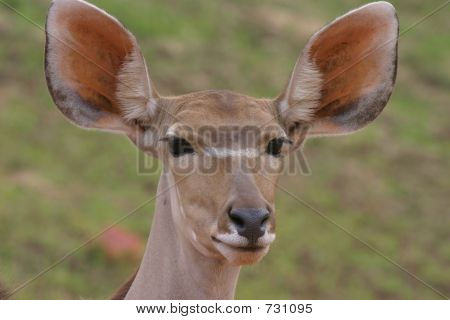 Antilope portrait_02