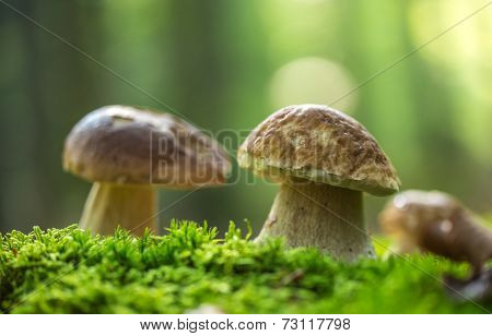 Boletus edulis in the forest during autumn day