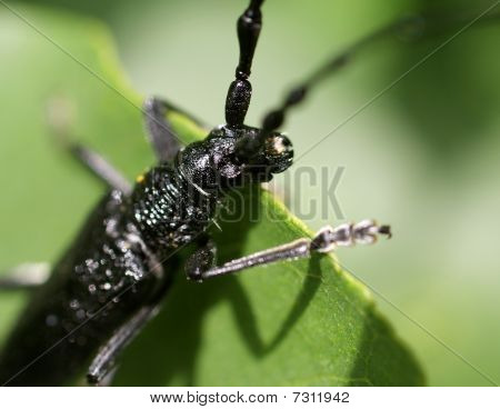 black bug (cerambyx cerdo)on a letter