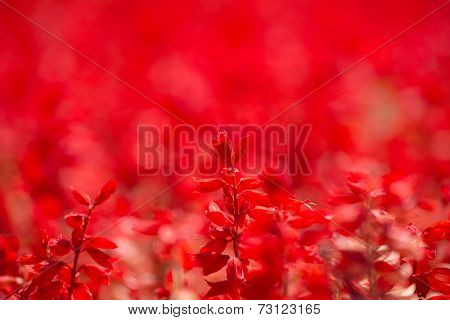 Red Salvia (Salvia splendens, Scarlet Sage, Tropical Sage) with deep red background.