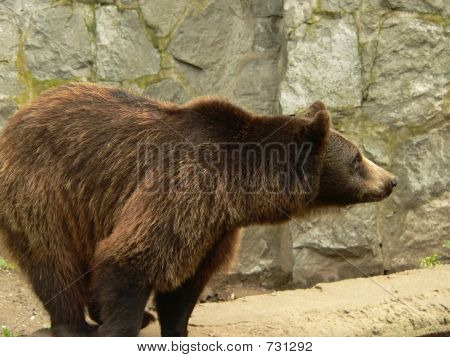 Brown Bear Side View