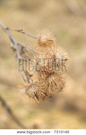 Dry Fruits Of Burdock