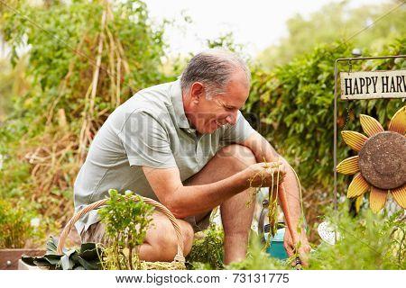 Senior Man Working On Allotment