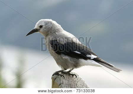 Clark's Nutcracker - Jasper National Park, Canada