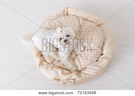 Cute young Maltese sitting on his bed at home