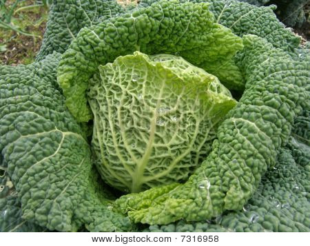 Savoy Cabbage side on