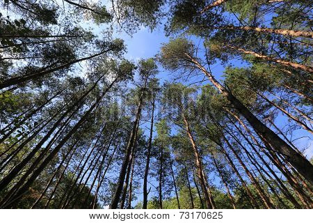 wide view on high trees in forest