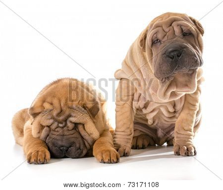 two chinese shar pei puppies isolated on white background - 4 months old