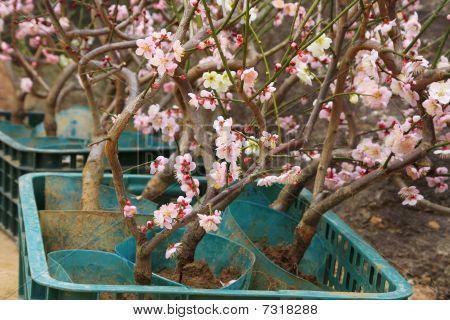 Grafted Cherry Blossom