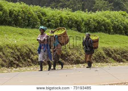 KIMUNYE, KENYA-SEPTEMBER 13, 2014: Unidentified workers carry baskets of freshly picked tea in the town of Kimunye, Kenya
